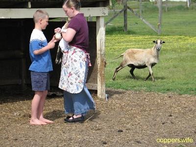 Lambs April 4, 2008 006